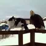 Dos águilas y dos gatos juntos en el porche de Pam en Alaska