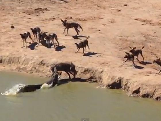 Un jabalí acorralado entre perros salvajes y un cocodrilo