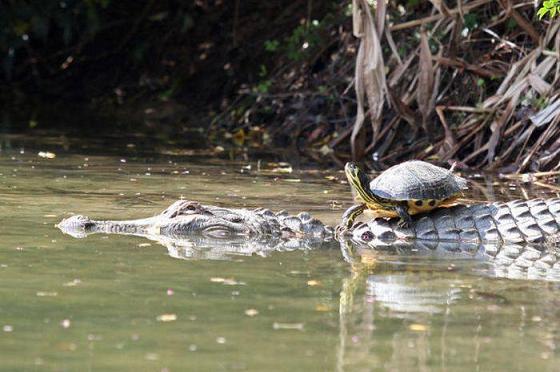 cocodrilo tortuga caiman