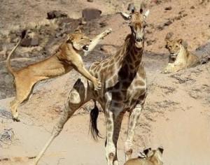 documental leones jirafa