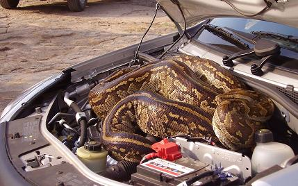 Una pitón enorme se esconde en un coche