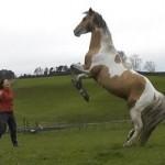 Flipante vídeo de un caballo semental jugando