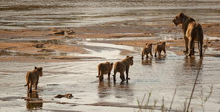 leonas cachorros cruzando rio