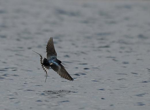 migracion golondrina volando 2