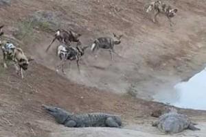 perros salvajes cocodrilos