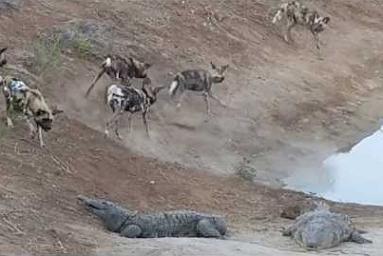 Perros salvajes buscándoles las cosquillas a dos cocodrilos