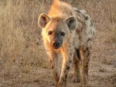 Una pata le vacila a una hiena