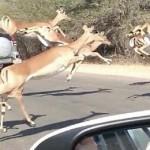 Un impala escapa de un guepardo saltando a un coche