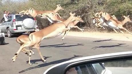 impalas guepardos