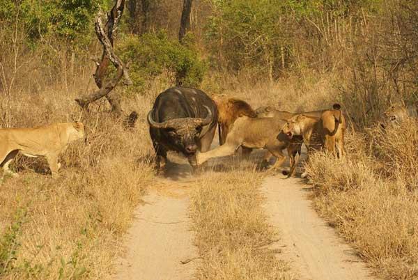 Manada de leonas cazando un búfalo en el Serengueti