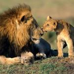 Leones, tigres y guepardos