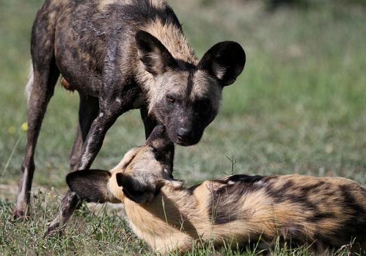 Perros salvajes y cocodrilos comparten una jirafa