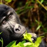 Tocado por unos gorilas salvajes de la montaña