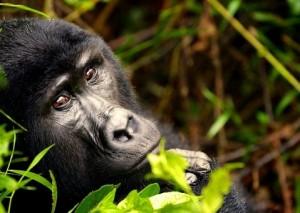 gorila salvaje de la montaña