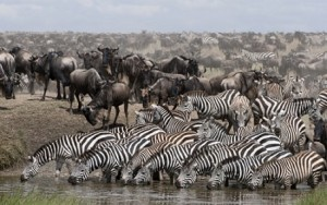 la gran migracion ñus cebras rio mara