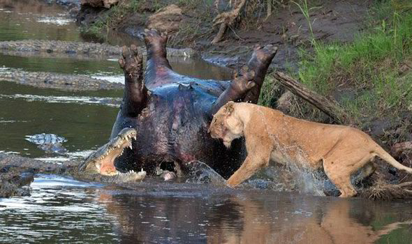 León vs cocodrilo. Cara a cara
