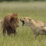 Una leona enfadada atacando a un león