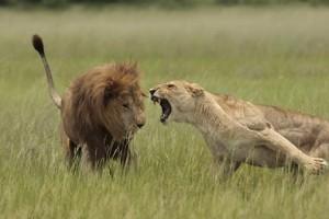 leona atacando leon