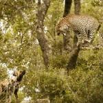 Un leopardo les hace la treta a unos perros salvajes