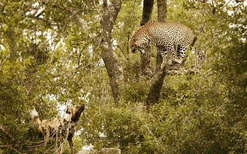 leopardo perros salvajes
