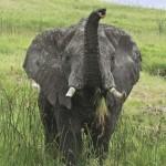 Impresionante: un elefante salvajes se acerca a saludar a unos turistas
