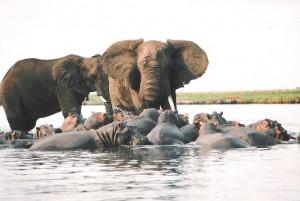 elefantes hipopotamos