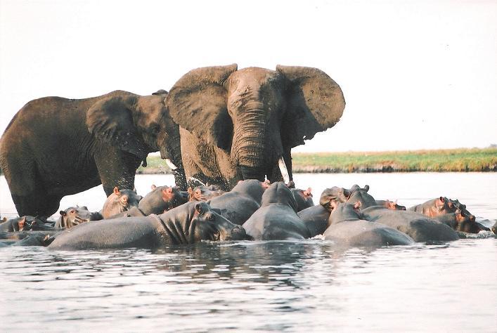 Gran elefante cruzando un río de hipopótamos
