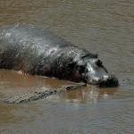Hipopótamo atacando a un cocodrilo por su presa