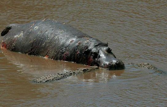 hipopotamo cocodrilos