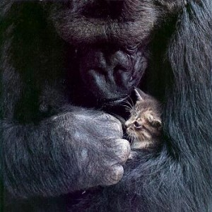 koko gorila gato