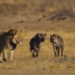 León acosado por 15 hienas