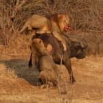 Una manada de leones intentando cazar un búfalo