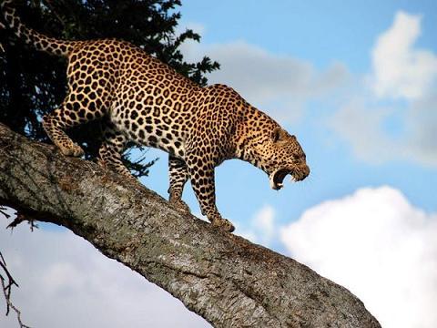 Leopardo persiguiendo monos por las copas de los árboles