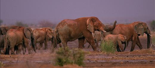 migracion elefante africano
