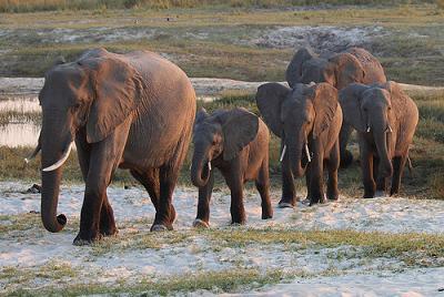 Migración del elefante africano