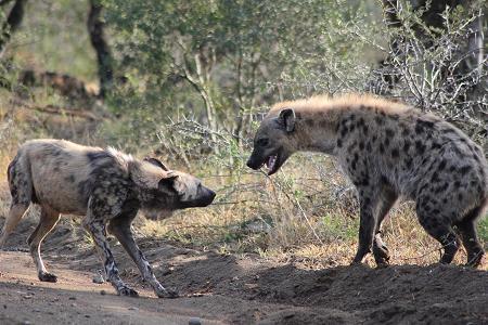 Encuentro entre un perro salvaje y una hiena