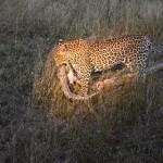 Una pitón mata una cría de leopardo