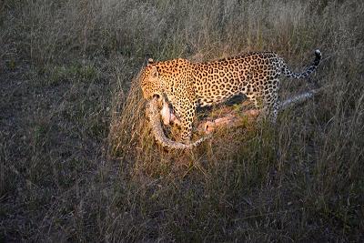 piton leopardo