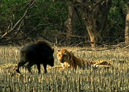 Tigre cazando un jabalí sigilosamente