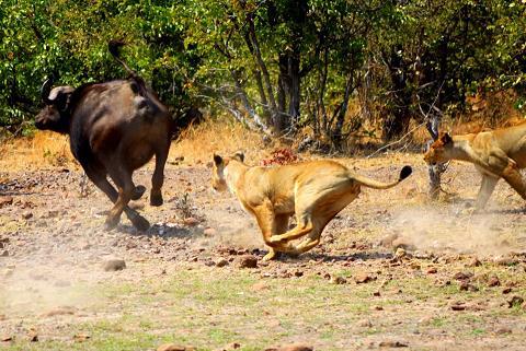 batalla idube leonas bufalo