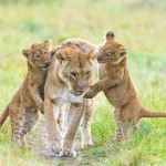 Cachorros de león jugando con las leonas de la manada