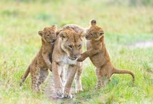 cachorros leon jugando