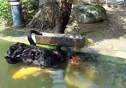 cisnes peces