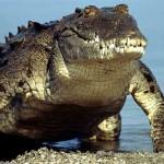 Documentales – El rey cocodrilo