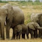 Documental – El elefante, sobreviviendo en la naturaleza