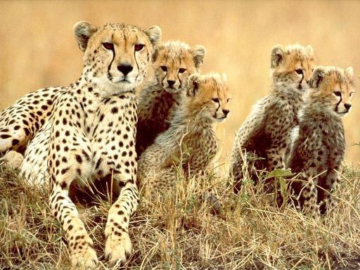 documental animales guepardo