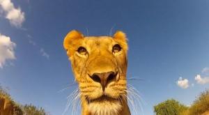 leona leones jugando camara