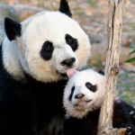 Oso panda estornudando. Genial