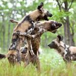 Perros salvajes cazando un niala