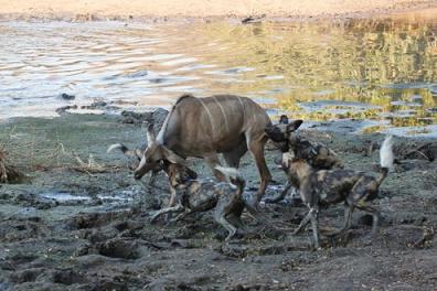 perros salvajes cazando kudu antilope